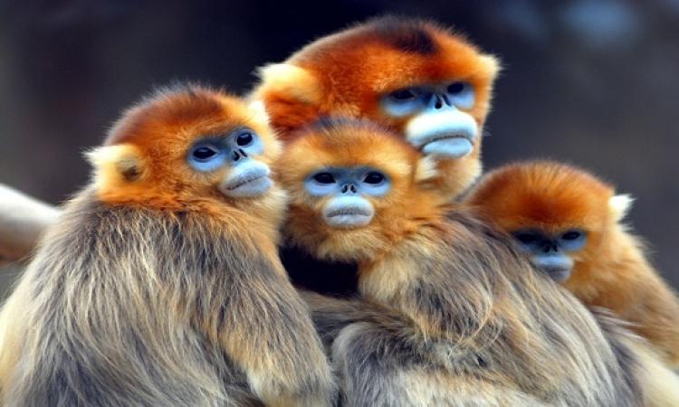 """بالصور .. جولة فى عالم """" القرد الذهبى """""""