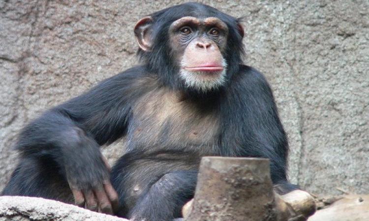 دراسة أمريكية: الشامبانزى حيوان قاتل بطبيعته