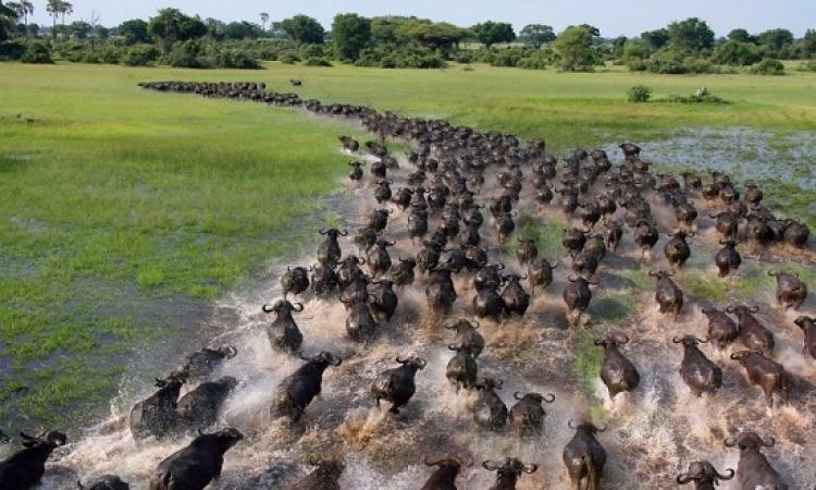 بالصور .. اجمع واروع مناظر الهجرة الجماعية للحيوانات
