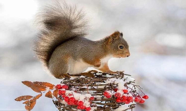 بالصور .. جمال السناجب الحمراء وسط الثلوج البيضاء !!