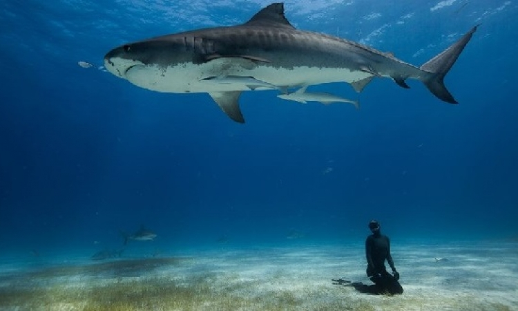 صور تخطف الانفاس .. غواصين يسبحون مع اسماك القرش فى قاع المحيط