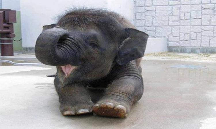 بالفيديو ..فيل صغير يعشق الاستحمام ولكنه يجد صعوبة فى ذلك