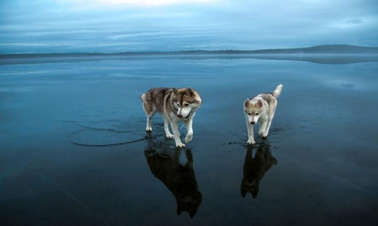 رحلة عبر المرآة السحرية .. كلاب ذئاب تمشى على الماء !!
