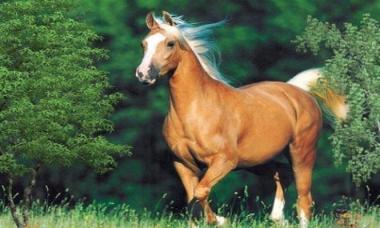 بالفيديو.. مراحل إعداد الخيول لمسابقات الجمال