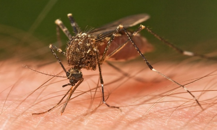الصين تستخدم البعوض فى القضاء على زيكا والحمى الصفراء