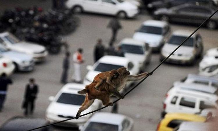 القردة تمنع ثورة المعلومات بالهند