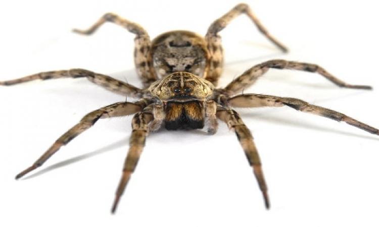 عالم يجبر العناكب على صناعة الحرير بالجرافين .. كيف؟!