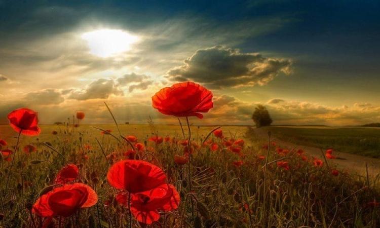 بالصور.. «شقائق النعمان» زهور الخيال على أرض الواقع