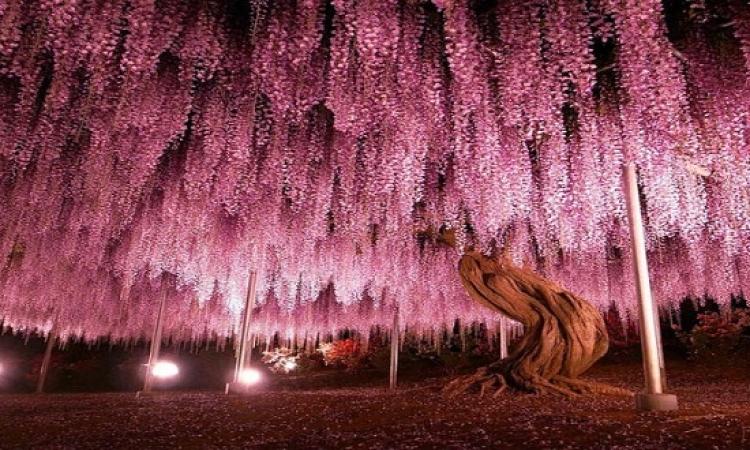 هذه الصور ليست صور لسماء ليلية بألوانها الوردية والقرنفلية ولكنها صور لأقدم شجرة