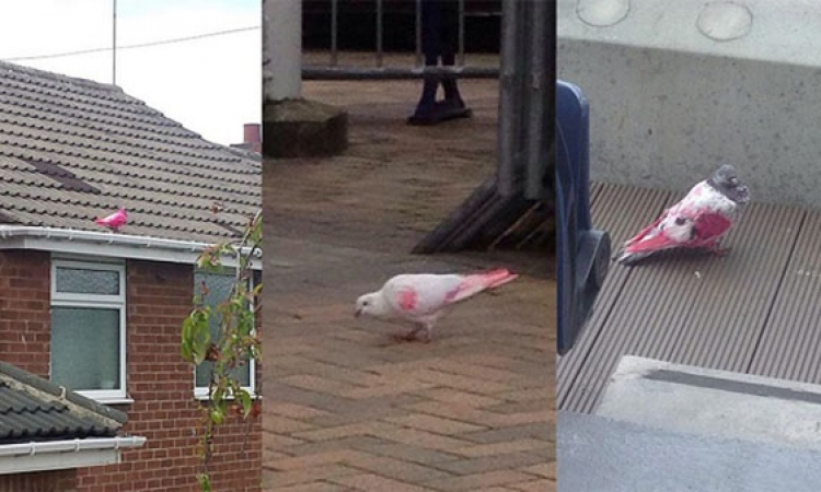سر الحمام الوردى الذى يجتاح بريطانيا