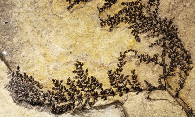 علماء يعثرون على نبتة ذو زهرة متحجرة منذ 125 مليون سنة !!