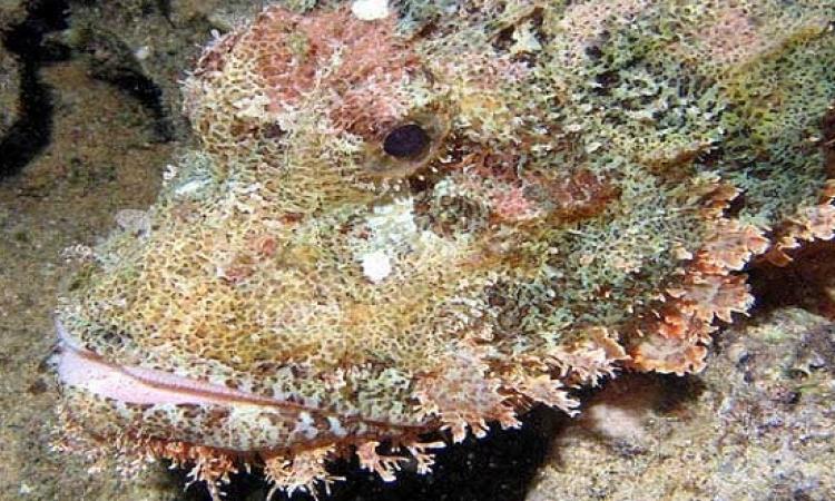 بالفيديو.. السمكة الصخرية لها قدرة عجيبة على التخفى وسط الشعب المرجانية