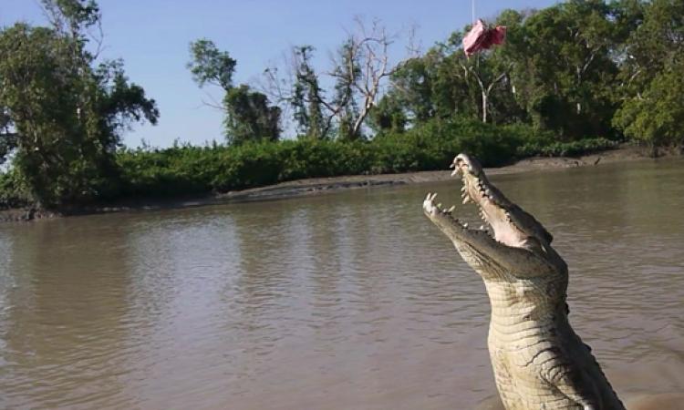 بالفيديو .. تمساح يطير فى الهواء ليلتقط لحم .. عندما يتحدث الفجع !!