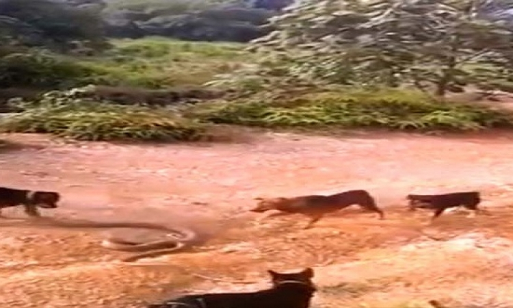بالفيديو .. مواجهه شرسة بين مجموعة من الكلاب وأفعى الكوبرا الضخمة!!