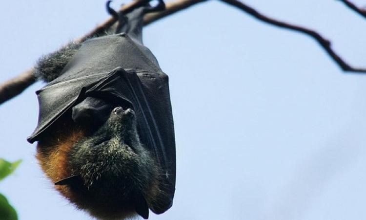 اكتشاف السر وراء نوم الخفافيش مقلوبة الرأس