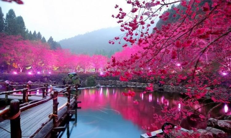 ساكورا .. موسم تفتّح أزهار الكرز فى اليابان .. حاجة تخطف العقل