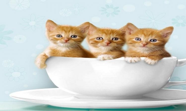 لغة القطط فى عهد سيدنا سليمان عليه السلام