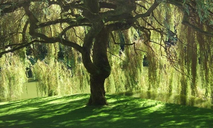 قصة قبل النوم للبنات .. شجرة الصفصاف ونبات القرع