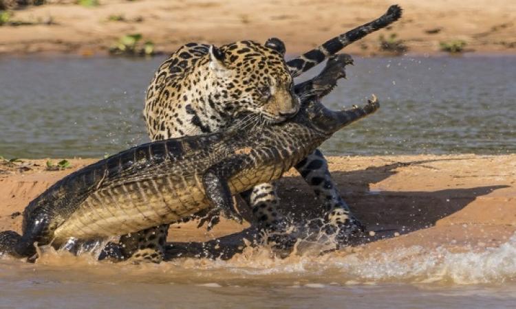 بالفيديو .. معركة مثيرة بين فهد وتمساح داخل نهر بالبرازيل