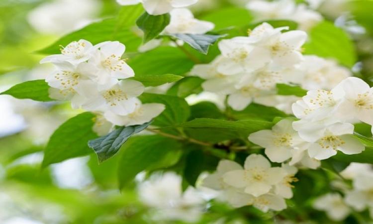 4 نباتات تساعدك على الاسترخاء فى النوم .. الياسمين منهم !!
