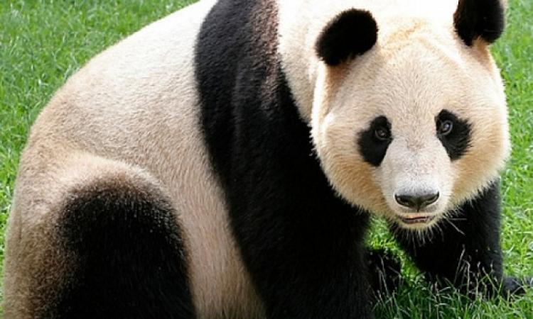 """أول ظهور لدب الباندا """"بى بى"""" فى الحدائق الأمريكية"""