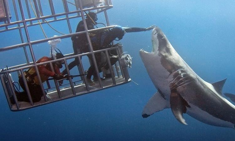 بالصور .. غطاس يتحدى أكبر سمكة قرش فى العالم !!