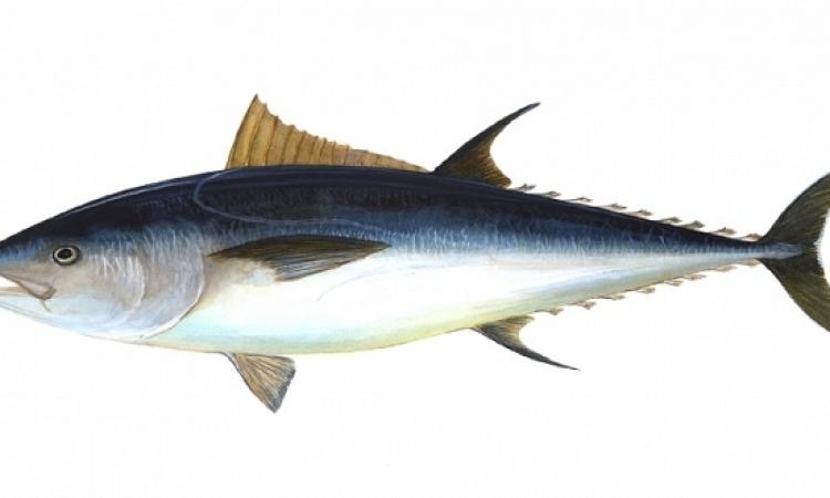 سمكة تونة عملاقة مهددة بالانقراض بـ117 ألف دولار