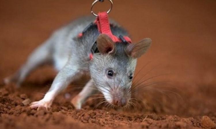 الفئران تساهم بالعمل ضد الإرهاب والجريمة!!