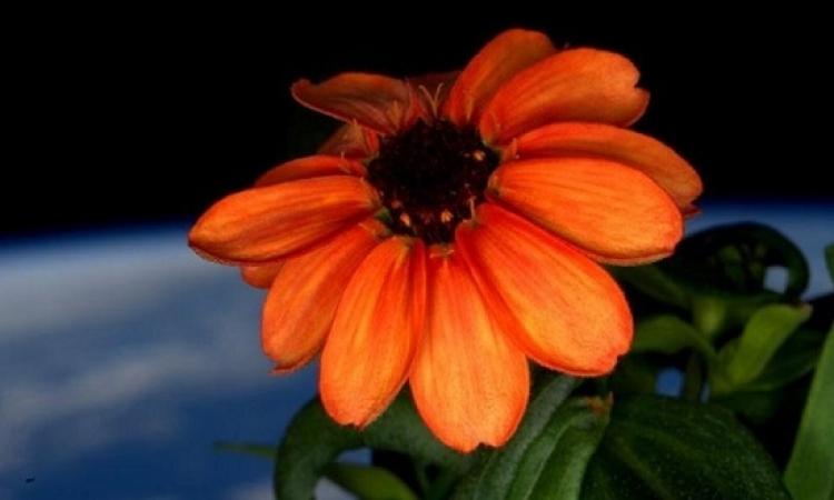 شاهد أول وردة تزهر فى الفضاء .. جميلة ومناسبة للمهمة !!