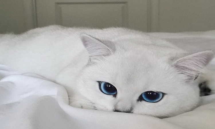 بالصور .. شاهد أجمل عيون قطة فى العالم .. ولا زرقاء اليمامة !!