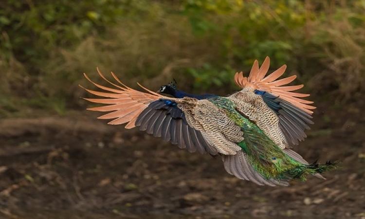 بالصور.. الطاووس يتربع على عرش الطيور