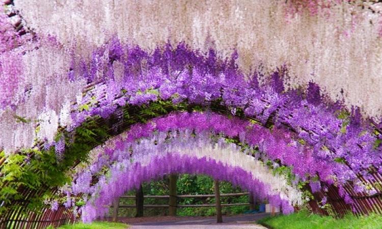 نفق زهور الوستاريا فى اليابان .. لوحة فنية بديعة الألوان