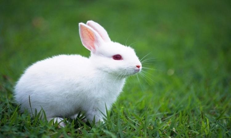 آخر صيحات جلب الحظ .. رجل أرنب وبول بقرة .. لسة ياما هنشوف !!