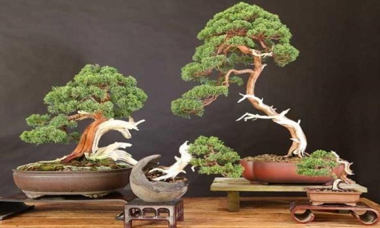 بالصور .. البونساى الساحرة .. أشجار منمنمة جوه البيت !!