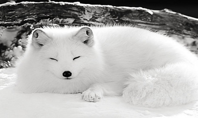 من حكايات زمان .. قصة الثعلب الأبيض ومحطة الوقود