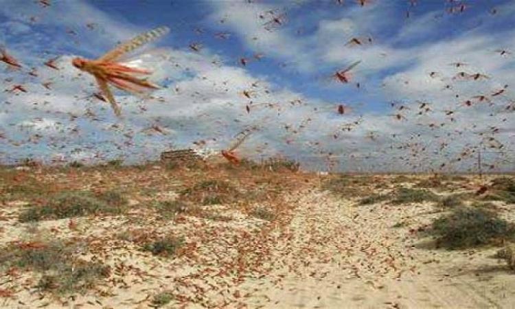 تفشى الجراد الصحراوى باليمن وخطره على الدول المحيطة