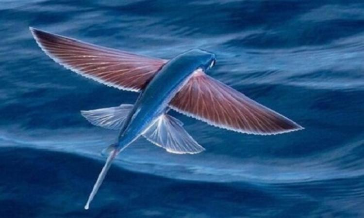 بالصور .. أسماك طائرة ترتفع 200 متر فوق سطح الماء