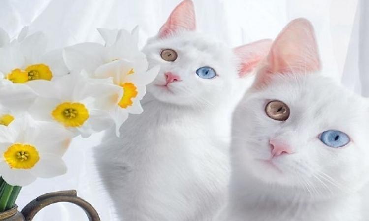 بالصور .. أجمل توأم قطط فى العالم .. لأ وعينيهم ملونة  !!
