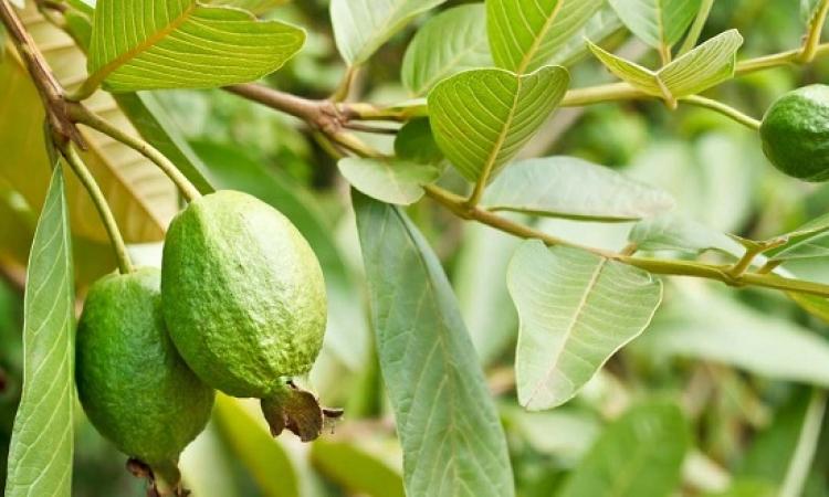 4 فوائد لأوراق الجوافة.. أهمها التخسيس وعلاج الإسهال