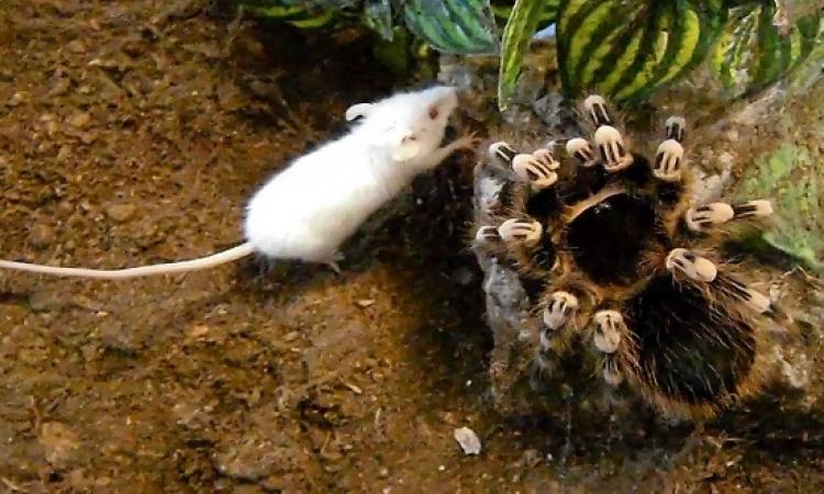 فيديو مذهل لعنكبوت ضخم يقتل فأر ويتحرك به !!