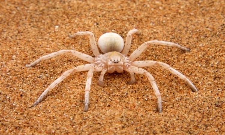 بالفيديو .. عنكبوت الصحراء العملاق يصطاد طائراً ويأكله حياً !!