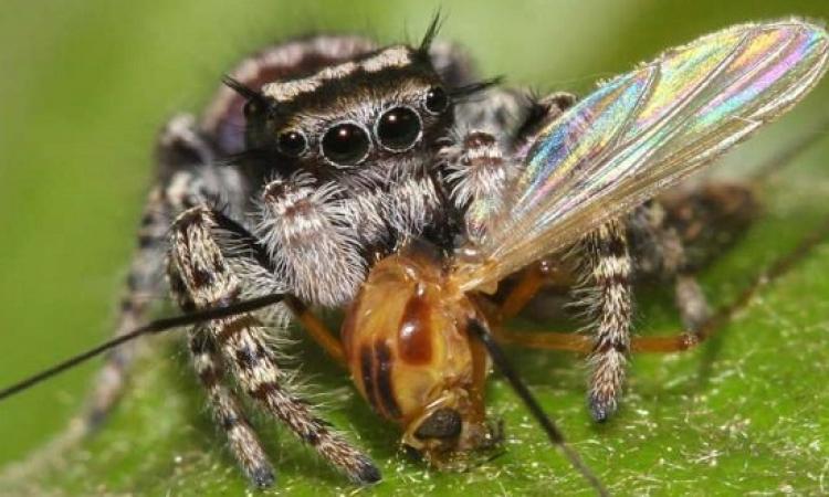 مفاجأة .. عناكب تأكل اطنان هائلة من اللحوم !!