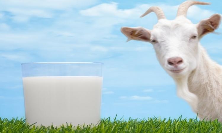 لبن الماعز المخمر يقلل من مستويات الكوليسترول