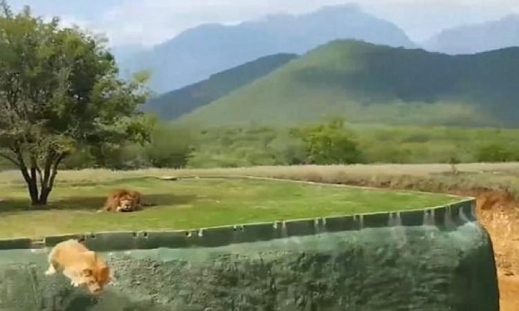بالفيديو .. النية السوداء أوقعت أنثى أسد فى شر أعمالها