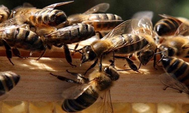 أسراب ضخمة من النحل تهاجم مواطنين بالسودان وتقتل أحدهم