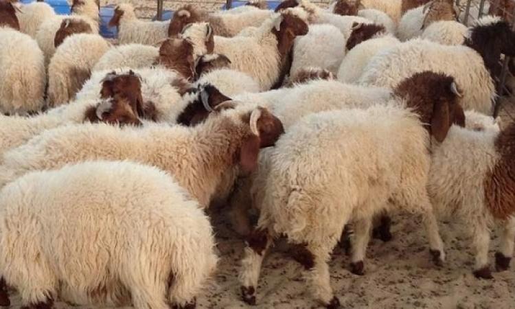 الزراعة تفتح باب الحجز لـ«أضحية العيد».. وكيلو العجول بـ55 جنيها