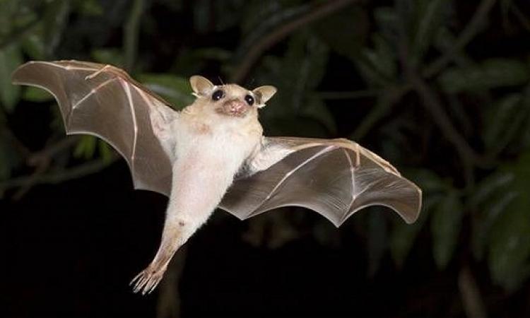 تعرف على الفرق بين الوطواط والخفاش