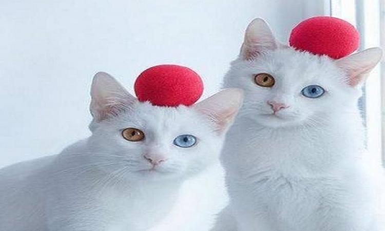 بالصور .. أجمل توأم قطط فى العالم