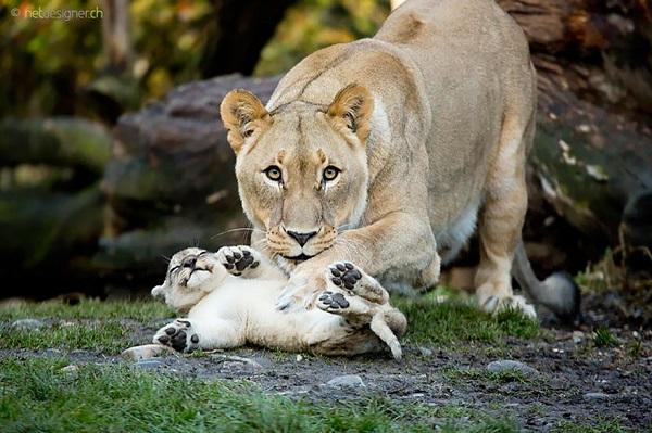 الامومة في عالم الحيوان 16