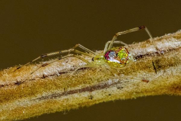 عناكب زجاجية  4